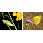 New Clouded Yellow Colias australis 4 pupae