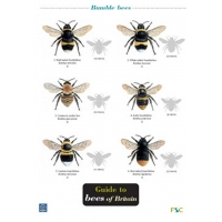 Guide to Bees of Britain, a laminated fold-out chart