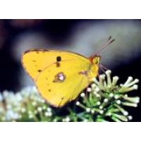 Clouded Yellow Crocea 5 pupae
