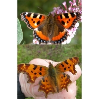 DUO PACK of Small Tortoiseshell urticae and Comma Butterfly c-album. Ten larvae of each.
