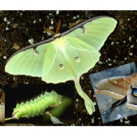 DUO American Moon Moth luna with American Oak Silkmoth polyphemus 10 eggs of each