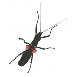 Peruvian Black Beauty Stick Insect Peruphasma schultei 4 adults