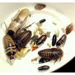 EASY COCKROACH MIX (introductory offer 15 for the price of 10)