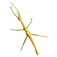 Indian Stick Insect Carausius morosus 5 adults