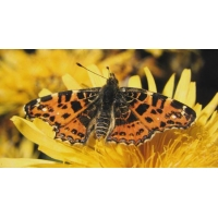 Map Butterfly levana 6 Pupae