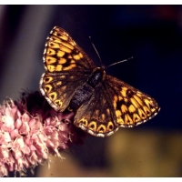 Duke of Burgundy Fritillary lucina 4 pupae