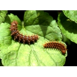 High Brown Fritillary Fabriciana adippe 10 larvae
