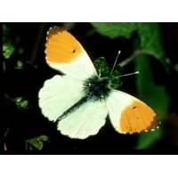 Orange Tip Anthocharis cardamines 4 Pupae