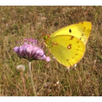 Pale Clouded Yellow Colias hyale 5 pupae