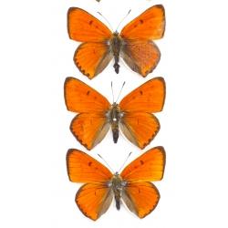 C001 Lycaena dispar batavus 3 males