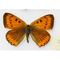 C011 Lycaena dispar batavus