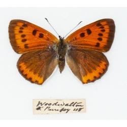 C017 Lycaena dispar batavus