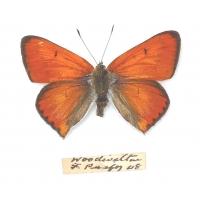 C018 Lycaena dispar batavus