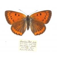C021 Lycaena dispar batavus