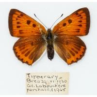 C026 Lycaena dispar rutilus