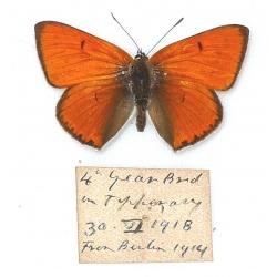 C028 Lycaena dispar rutilus