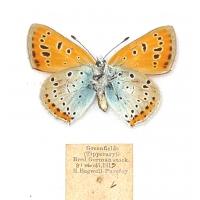 C030 Lycaena dispar rutilus