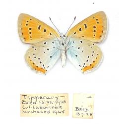 C032 Lycaena dispar rutilus