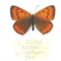 C033 Lycaena dispar batavus