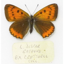 C034 Lycaena dispar batavus