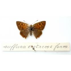 C063 L. phlaeas extreme Suffusa.