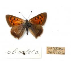 C064 L. phlaeas obsoleta.