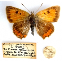 C067 L. phlaeas Small Copper