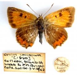 C067 L. phlaeas Small Copper