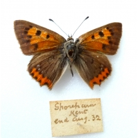 C068 L. phlaeas Small Copper suffusa