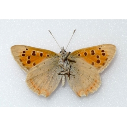 C070 L. phlaeas Small Copper