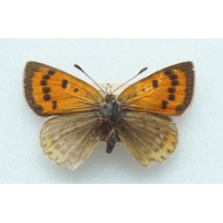 C071 L. phlaeas Small Copper