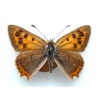 C073 L. phlaeas Small Copper