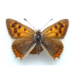 C073 L. phlaeas Small Copper
