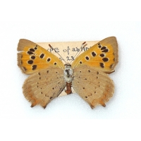 C077 L. phlaeas Small Copper ab addenda