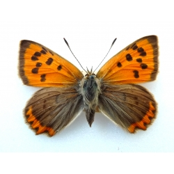 C079 L. phlaeas Small Copper