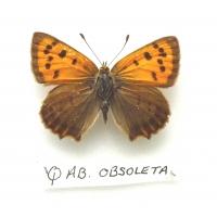 C081 L. phlaeas Small Copper ab obsoleta