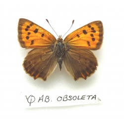 C081 L. phlaeas Small Copper ab obsoleta