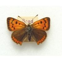 C082 L. phlaeas Small Copper