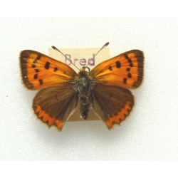 C082 L. phlaeas Small Copper