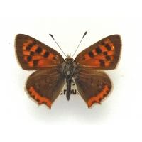 C083 L. phlaeas Small Copper