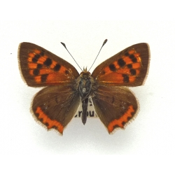 C083 L. phlaeas Small Copper