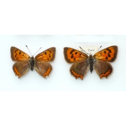 C084 L. phlaeas Small Copper
