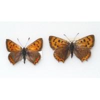 C085 L. phlaeas Small Copper