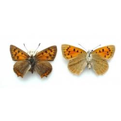 C087 L. phlaeas Small Copper