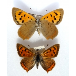 C090 L. phlaeas Small Copper